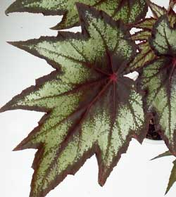 Begonia coccinea «Little brother Montgomery»
