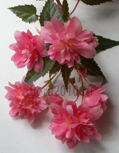 бегония ампельная розовая