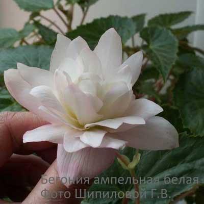 цветы бегония размножение