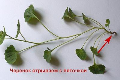 размножение колокольчиков
